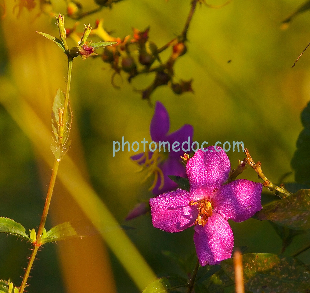 Early Morning Dew on Purple Flower